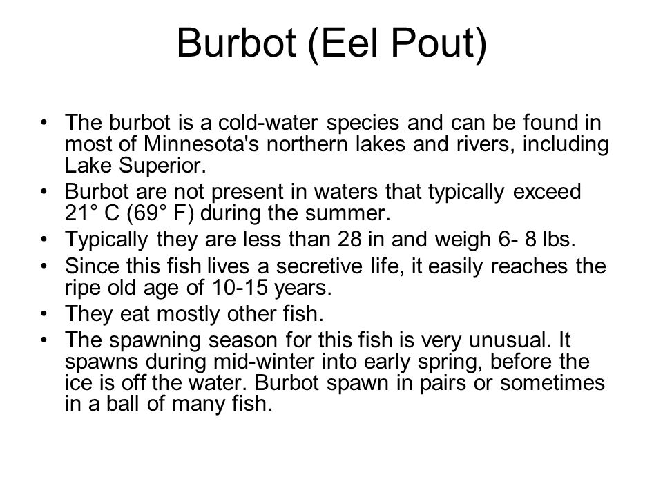 The burbot is a cold-water species and can be found in most of Minnesota's northern lakes and rivers, including Lake Superior. Burbot are not present