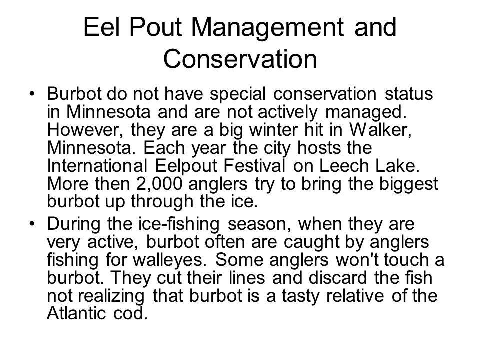 Eel Pout Management and Conservation Burbot do not have special conservation status in Minnesota and are not actively managed. However, they are a big