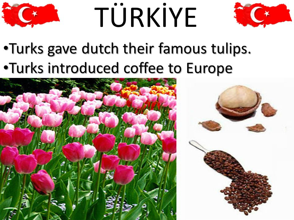 31 TÜRKİYE Turks gave dutch their famous tulips. Turks gave dutch their famous tulips.