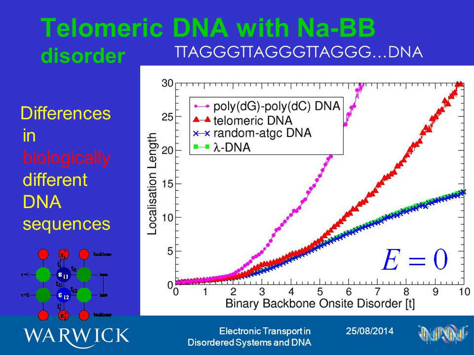 25/08/2014Electronic Transport in Disordered Systems and DNA Telomeric DNA with Na-BB disorder Differences in biologically different DNA sequences highly localized less localized TTAGGGTTAGGGTTAGGG…DNA