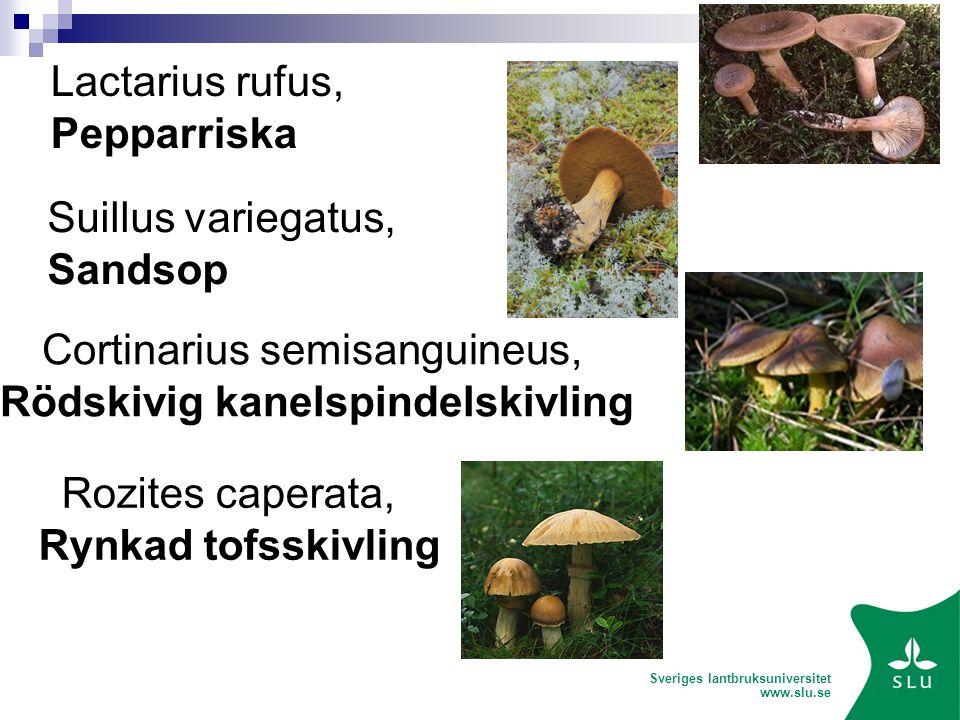 Sveriges lantbruksuniversitet www.slu.se Lactarius rufus, Pepparriska Suillus variegatus, Sandsop Rozites caperata, Rynkad tofsskivling Cortinarius semisanguineus, Rödskivig kanelspindelskivling