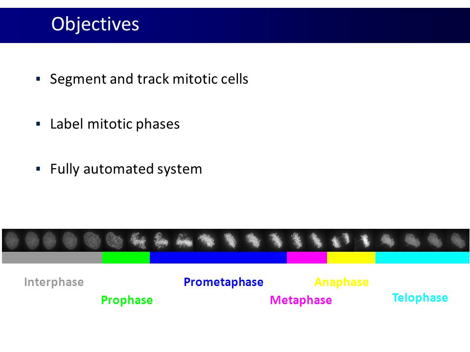 Simple features  Maximum Intensity: Interphase Prophase Prometaphase Metaphase
