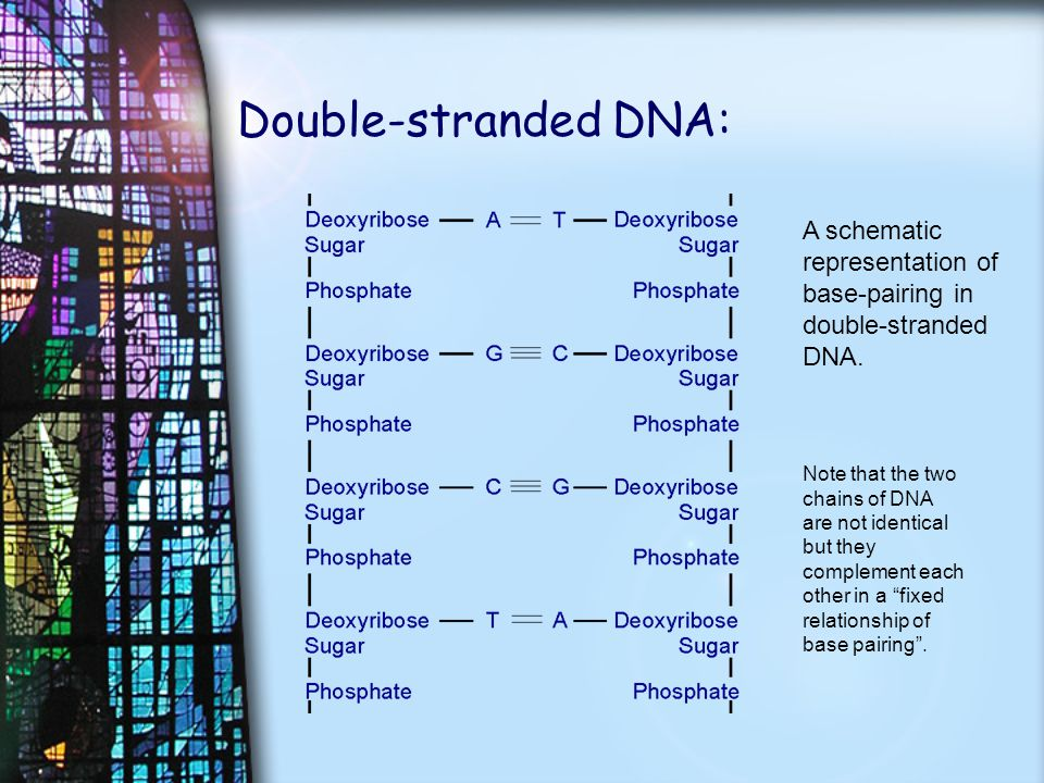 Double-stranded DNA: A schematic representation of base-pairing in double-stranded DNA. Note that the two chains of DNA are not identical but they com