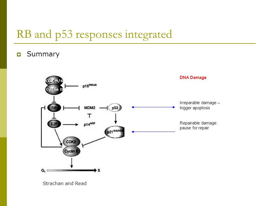 RB and p53 responses integrated  Summary DNA Damage Irreparable damage – trigger apoptosis Repairable damage: pause for repair Strachan and Read CDK