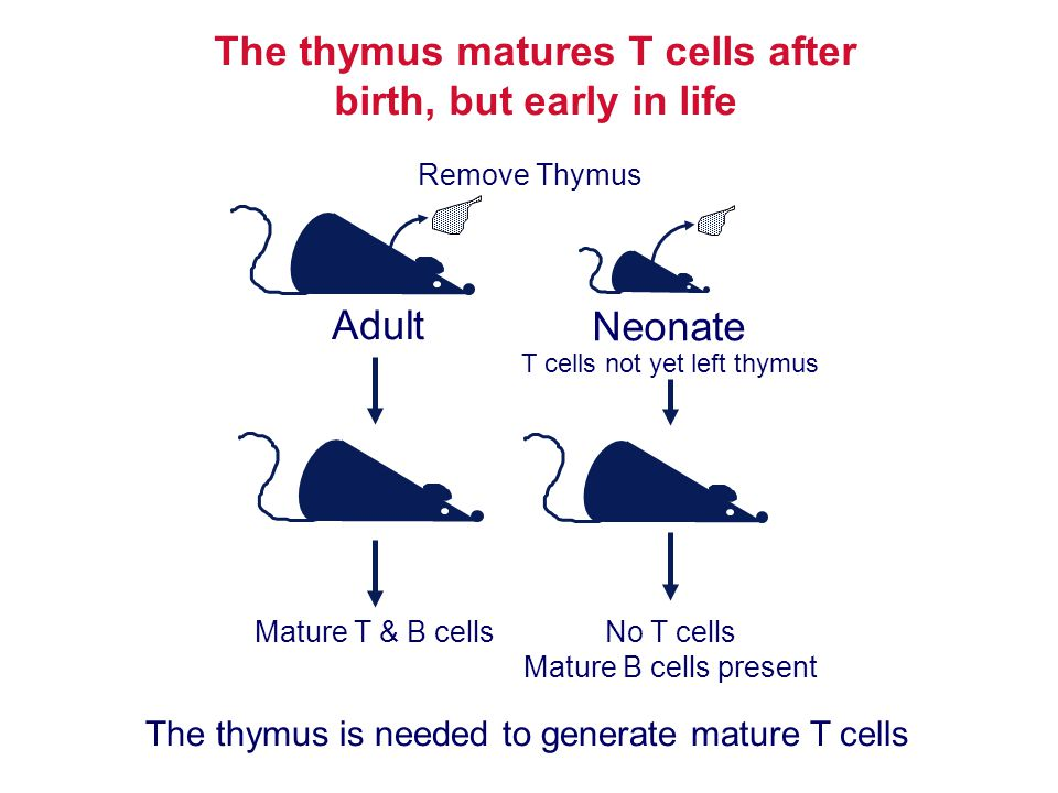 The thymus matures T cells after birth, but early in life Remove Thymus Mature T & B cells Adult Neonate No T cells Mature B cells present T cells not