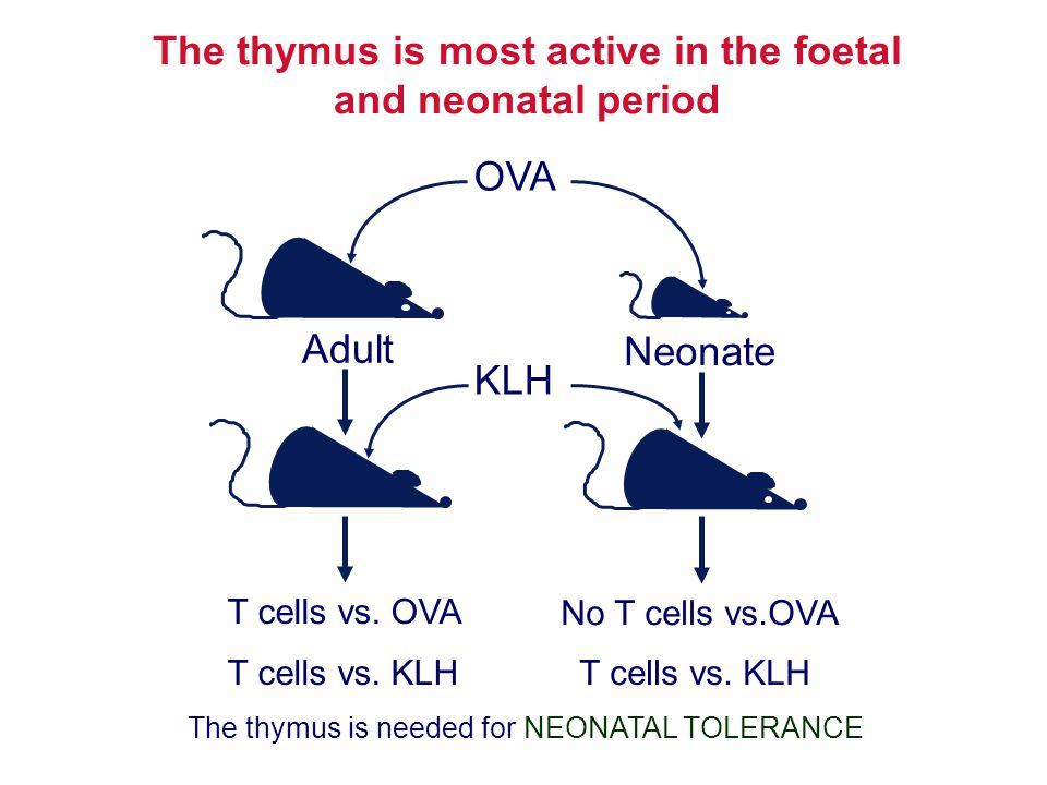 The thymus is most active in the foetal and neonatal period T cells vs. OVA Adult Neonate No T cells vs.OVA OVA The thymus is needed for NEONATAL TOLE