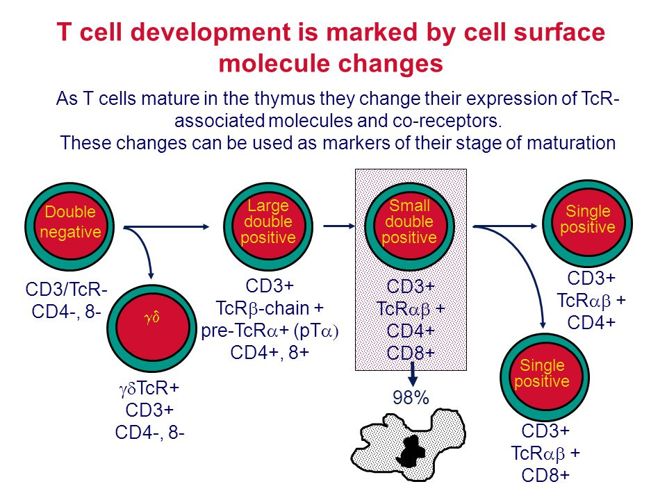 98% T cell development is marked by cell surface molecule changes As T cells mature in the thymus they change their expression of TcR- associated mole