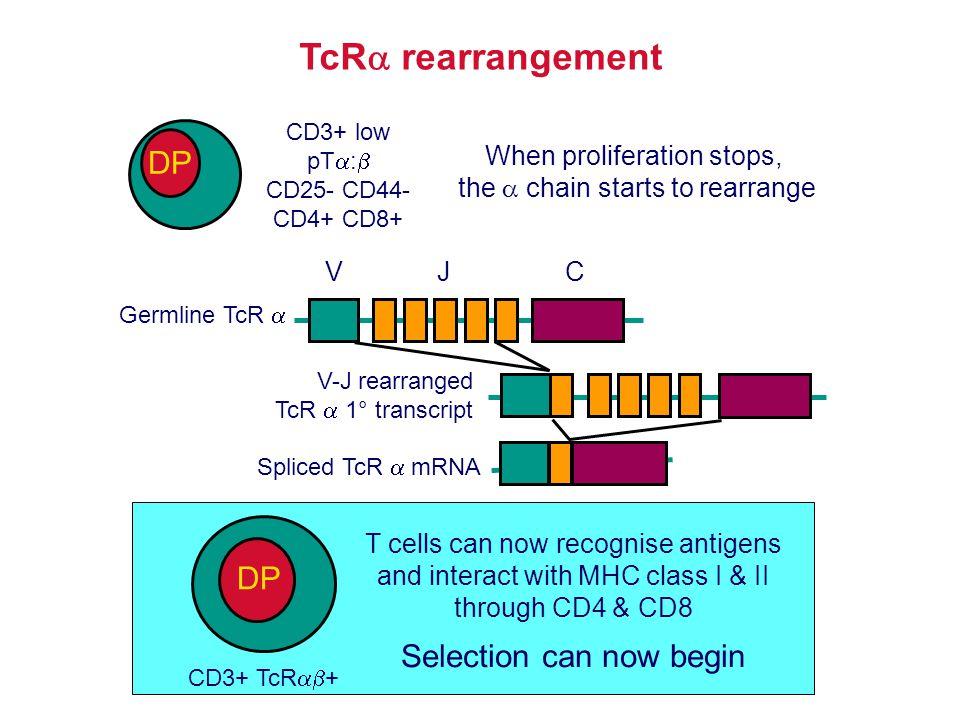 TcR  rearrangement Germline TcR  JCV V-J rearranged TcR  1° transcript Spliced TcR  mRNA CD3+ TcR  + DP T cells can now recognise antigens and