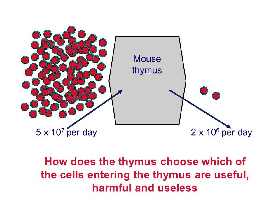 2 x 10 6 per day How does the thymus choose which of the cells entering the thymus are useful, harmful and useless