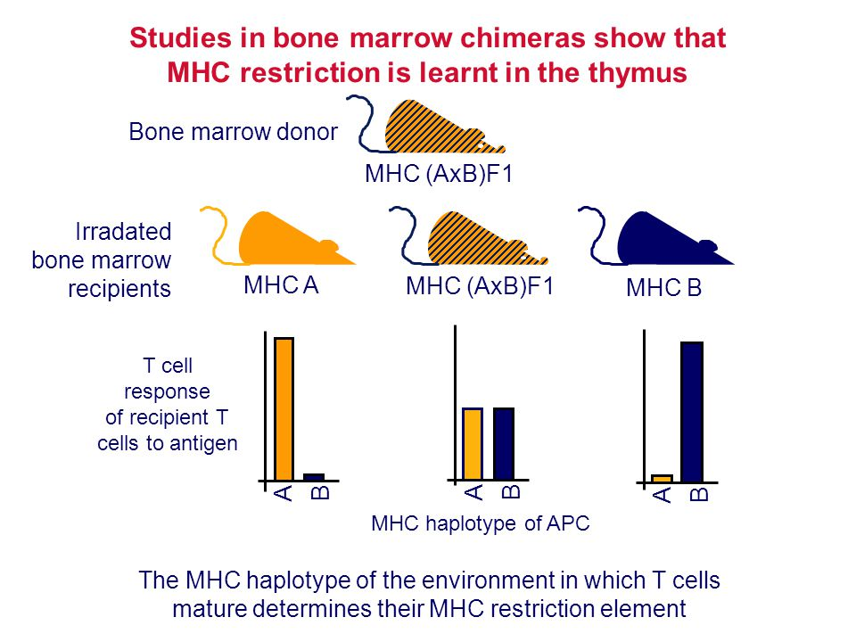 Studies in bone marrow chimeras show that MHC restriction is learnt in the thymus T cell response of recipient T cells to antigen MHC A The MHC haplot
