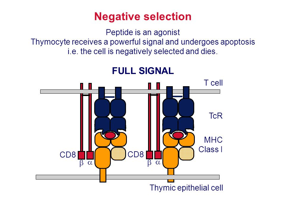 Thymic epithelial cell MHC Class I Negative selection Peptide is an agonist Thymocyte receives a powerful signal and undergoes apoptosis i.e. the cell
