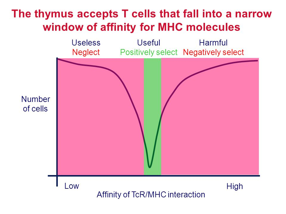 The thymus accepts T cells that fall into a narrow window of affinity for MHC molecules Number of cells Affinity of TcR/MHC interaction Low High Usele