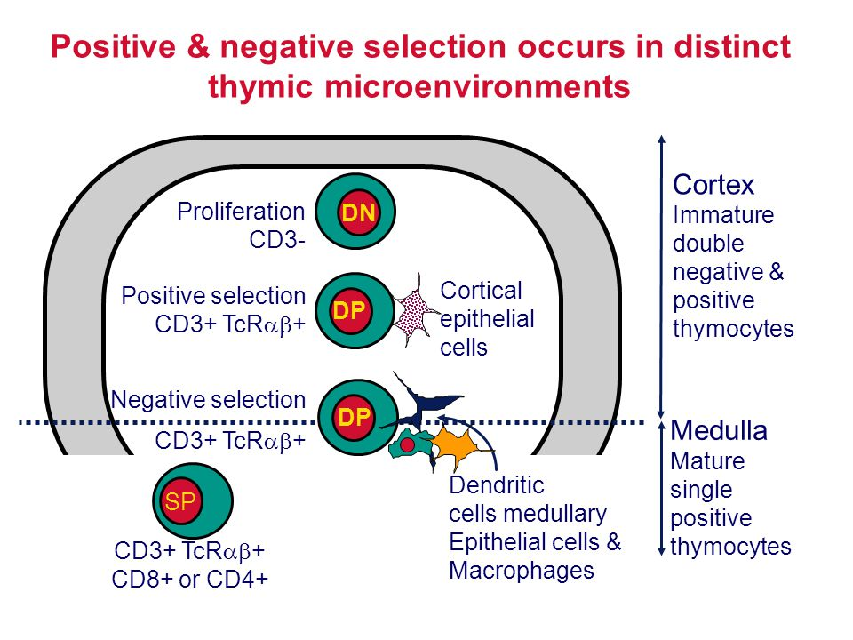 Cortex Immature double negative & positive thymocytes Medulla Mature single positive thymocytes Positive & negative selection occurs in distinct thymi