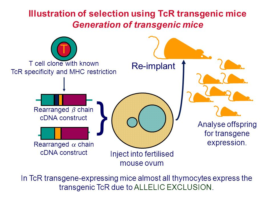 Illustration of selection using TcR transgenic mice Generation of transgenic mice T T cell clone with known TcR specificity and MHC restriction Rearra
