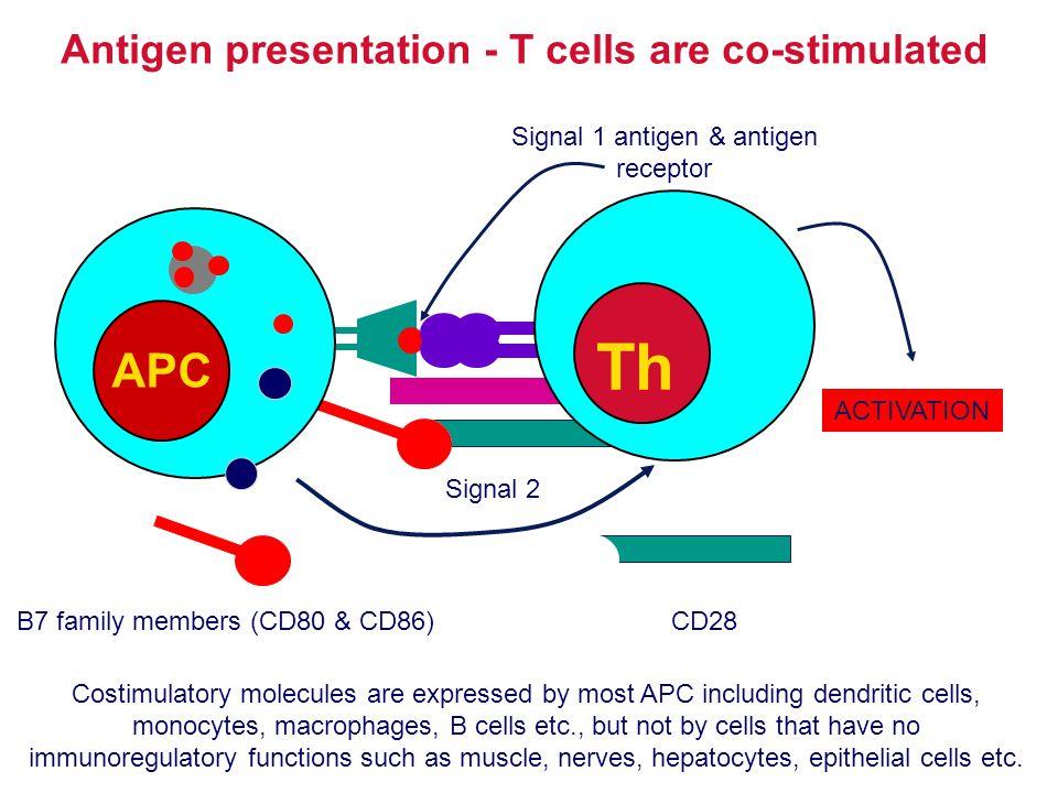 Antigen presentation - T cells are co-stimulated APC Th Signal 1 antigen & antigen receptor Signal 2 B7 family members (CD80 & CD86)CD28 ACTIVATION Co