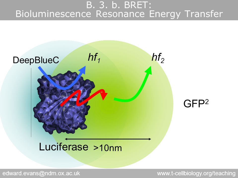 edward.evans@ndm.ox.ac.ukwww.t-cellbiology.org/teaching DeepBlueC hf 1 hf 2 Luciferase >10nm GFP 2 B.
