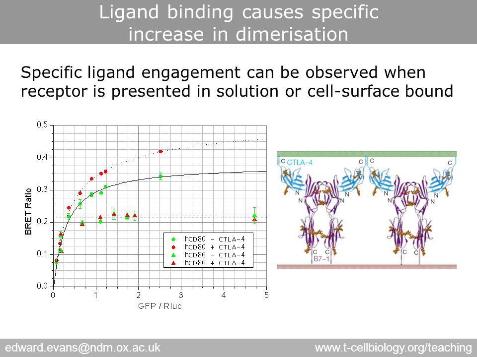edward.evans@ndm.ox.ac.ukwww.t-cellbiology.org/teaching Specific ligand engagement can be observed when receptor is presented in solution or cell-surface bound Ligand binding causes specific increase in dimerisation