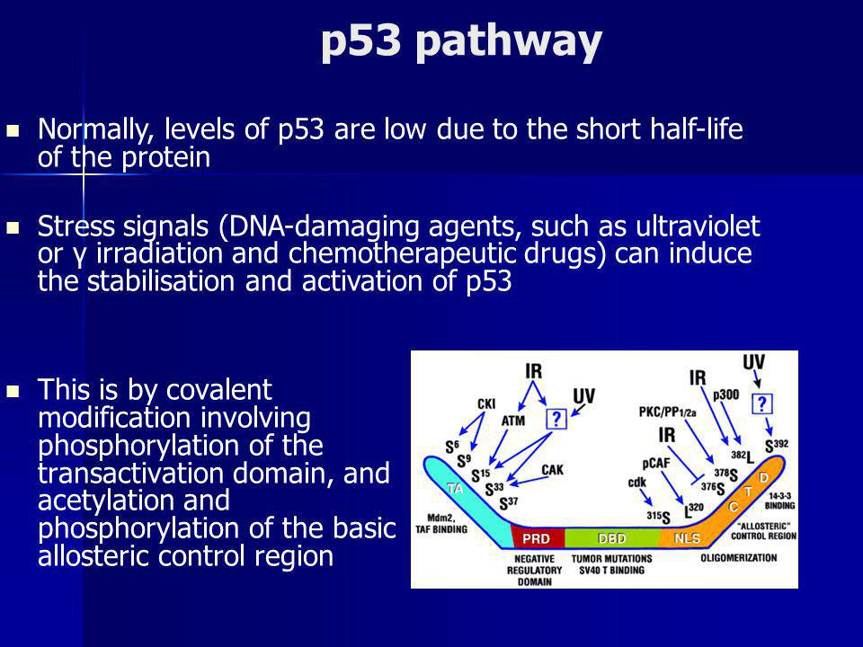 p53 pathway This is by covalent modification involving phosphorylation of the transactivation domain, and acetylation and phosphorylation of the basic allosteric control region Normally, levels of p53 are low due to the short half-life of the protein Stress signals (DNA-damaging agents, such as ultraviolet or γ irradiation and chemotherapeutic drugs) can induce the stabilisation and activation of p53