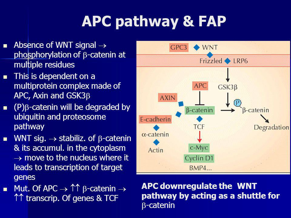 APC pathway & FAP Absence of WNT signal  phosphorylation of  -catenin at multiple residues This is dependent on a multiprotein complex made of APC, Axin and GSK3  (P)  -catenin will be degraded by ubiquitin and proteosome pathway WNT sig.