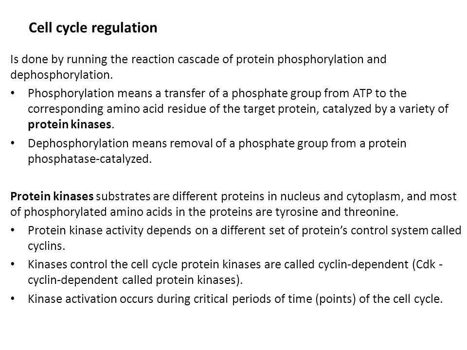 Cell cycle regulation Is done by running the reaction cascade of protein phosphorylation and dephosphorylation. Phosphorylation means a transfer of a