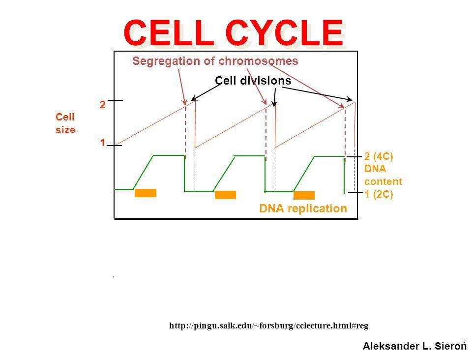 http://pingu.salk.edu/~forsburg/cclecture.html#reg Cyclin levels CDK1 activity DNA replication 2 (4C) DNA content 1 (2C) Segregation of chromosomes Ce