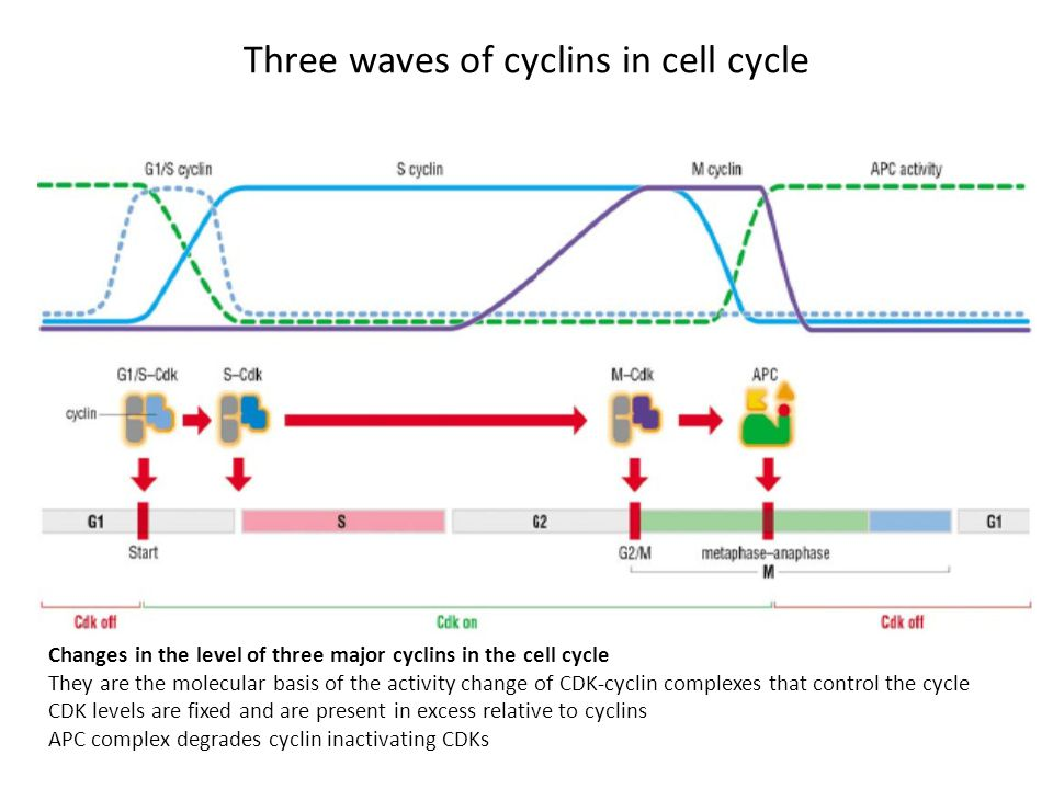 Three waves of cyclins in cell cycle Changes in the level of three major cyclins in the cell cycle They are the molecular basis of the activity change