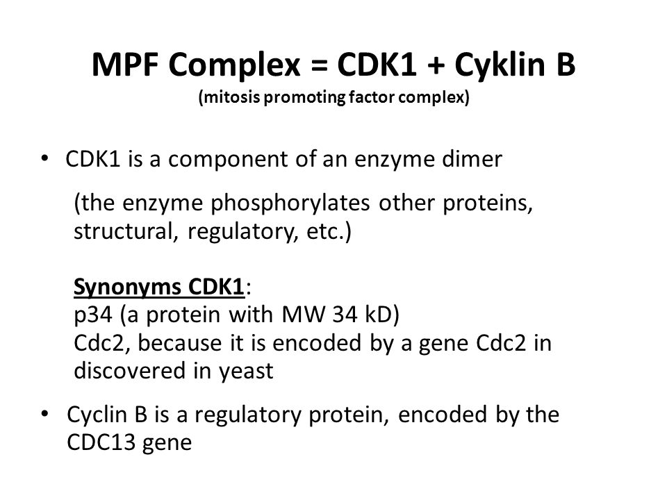 MPF Complex = CDK1 + Cyklin B (mitosis promoting factor complex) CDK1 is a component of an enzyme dimer (the enzyme phosphorylates other proteins, str