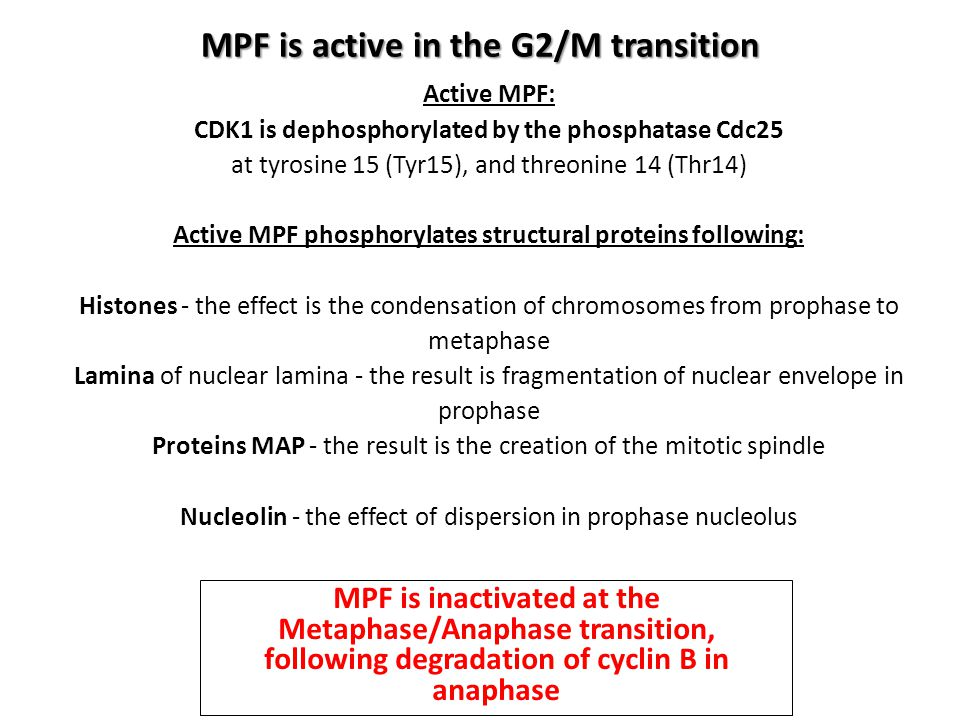 MPF is active in the G2/M transition Active MPF: CDK1 is dephosphorylated by the phosphatase Cdc25 at tyrosine 15 (Tyr15), and threonine 14 (Thr14) Ac