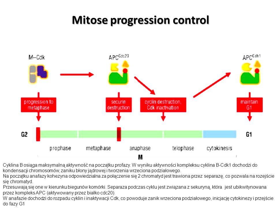 Cyklina B osiąga maksymalną aktywność na początku profazy. W wyniku aktywności kompleksu cyklina B-Cdk1 dochodzi do kondensacji chromosomów, zaniku bł