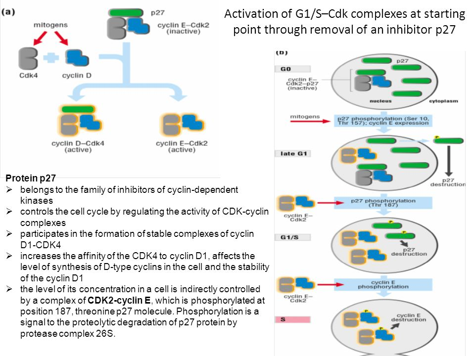 Activation of G1/S–Cdk complexes at starting point through removal of an inhibitor p27 Protein p27  belongs to the family of inhibitors of cyclin-dep