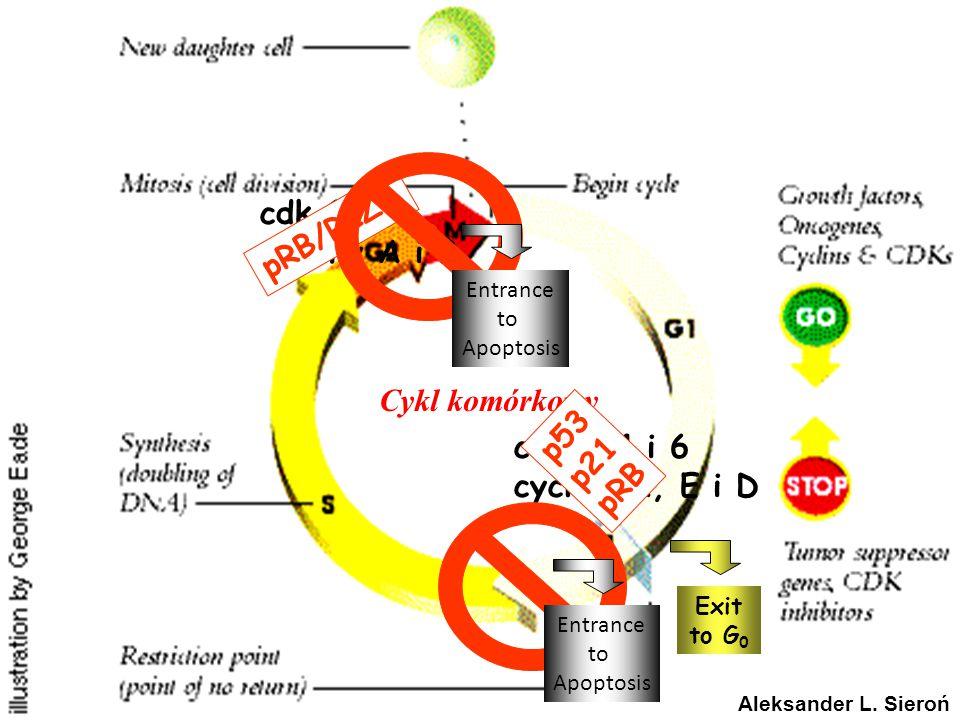Cykl komórkowy cdk2, 4 i 6 cyclins A, E i D p53 p21 pRB cdk 1 cykliny A i B Exit to G 0 pRB/RIZ1 Entrance to Apoptosis Entrance to Apoptosis Aleksande