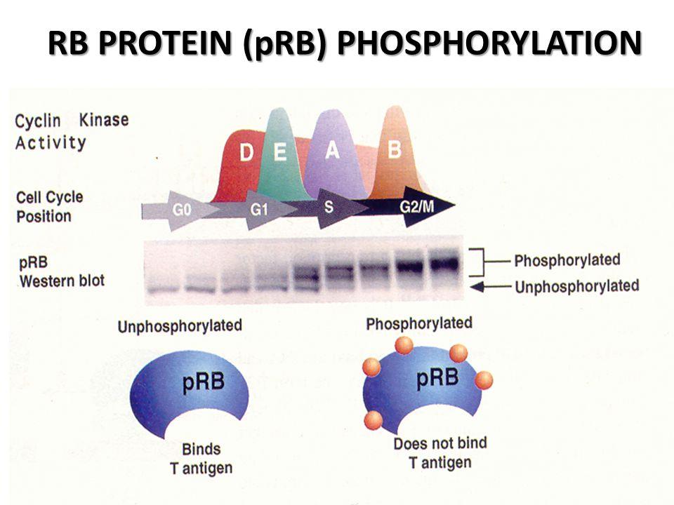 RB PROTEIN (pRB) PHOSPHORYLATION