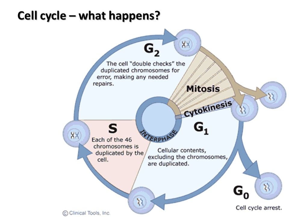 Cell cycle – what happens?
