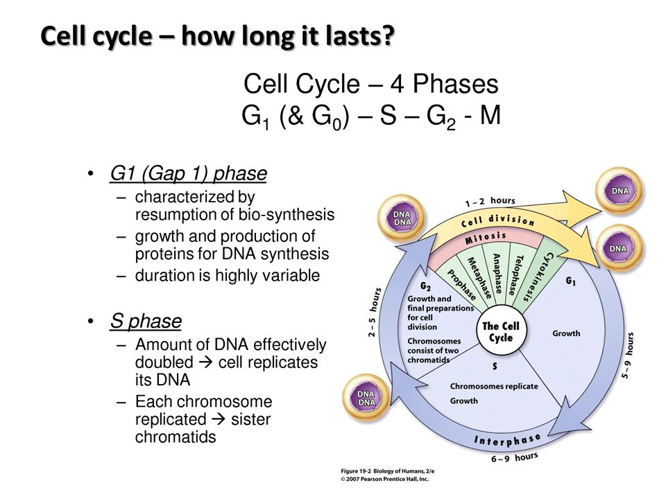 Cell cycle – how long it lasts?