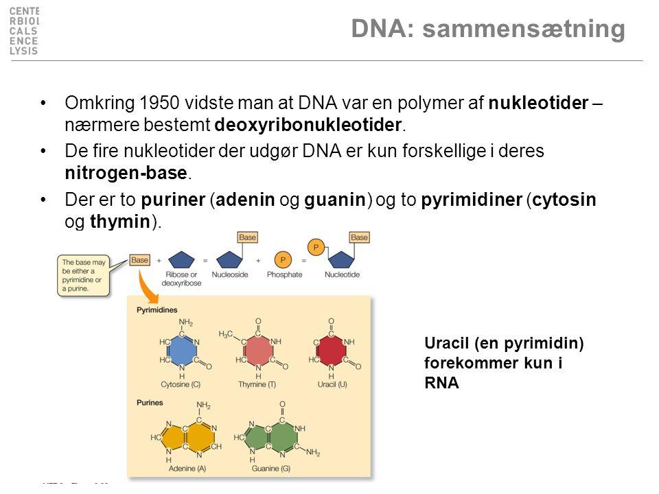 DNA: sammensætning Omkring 1950 vidste man at DNA var en polymer af nukleotider – nærmere bestemt deoxyribonukleotider.