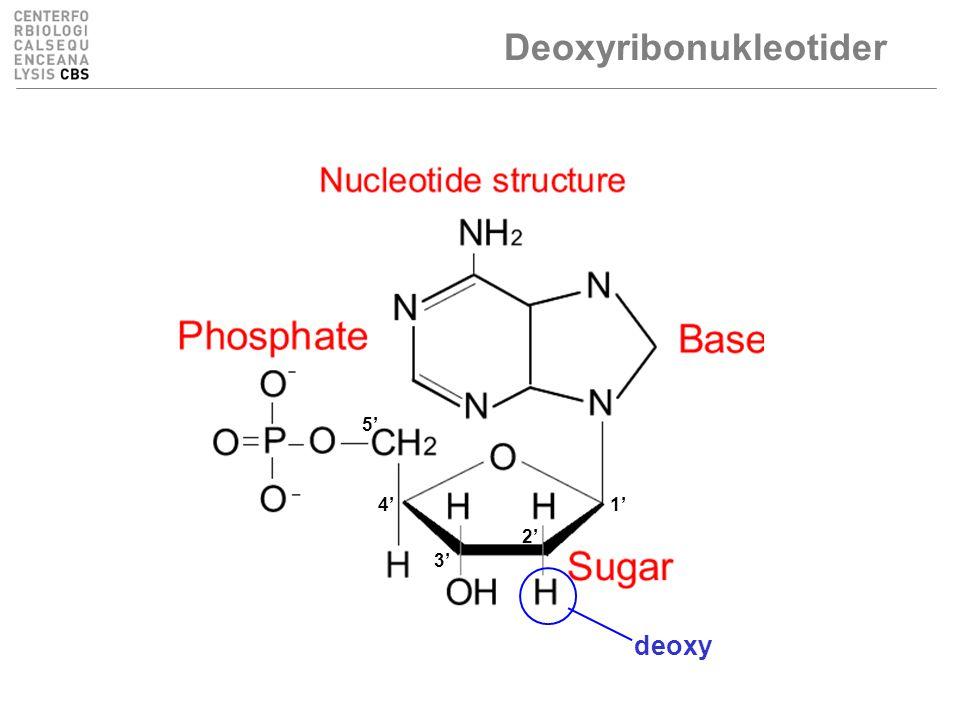 Deoxyribonukleotider 1' 2' 3' 4' 5' deoxy