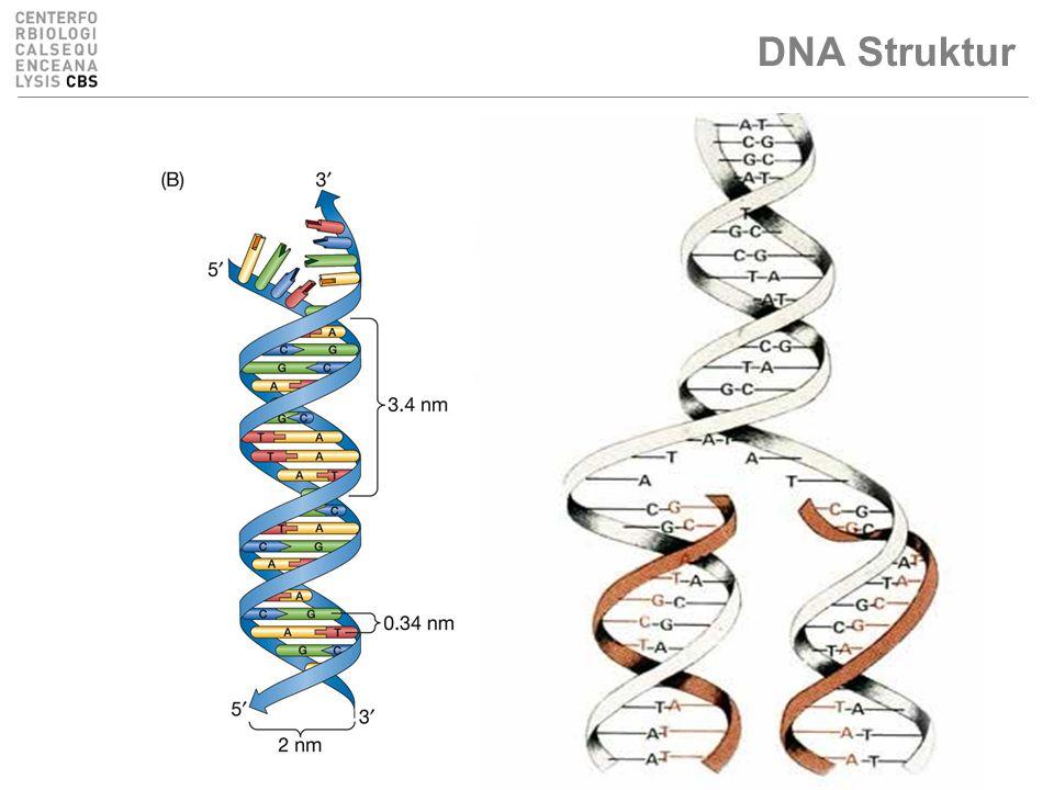 DNA Struktur