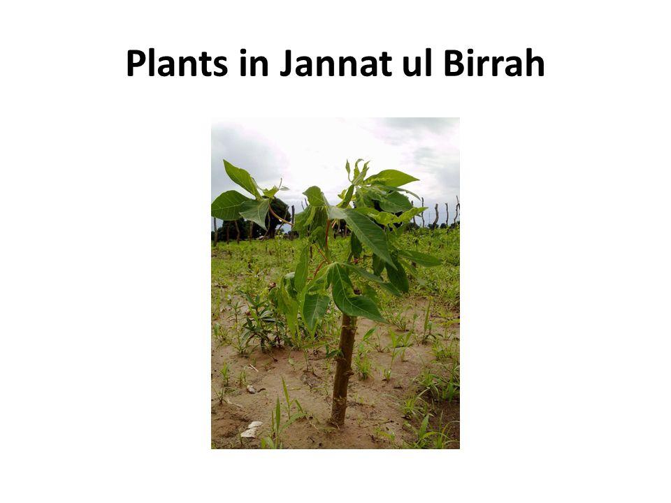 Plants in Jannat ul Birrah