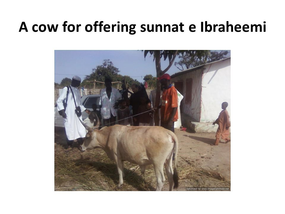 A cow for offering sunnat e Ibraheemi