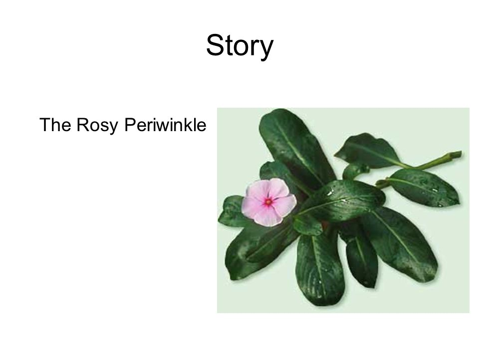 Story The Rosy Periwinkle