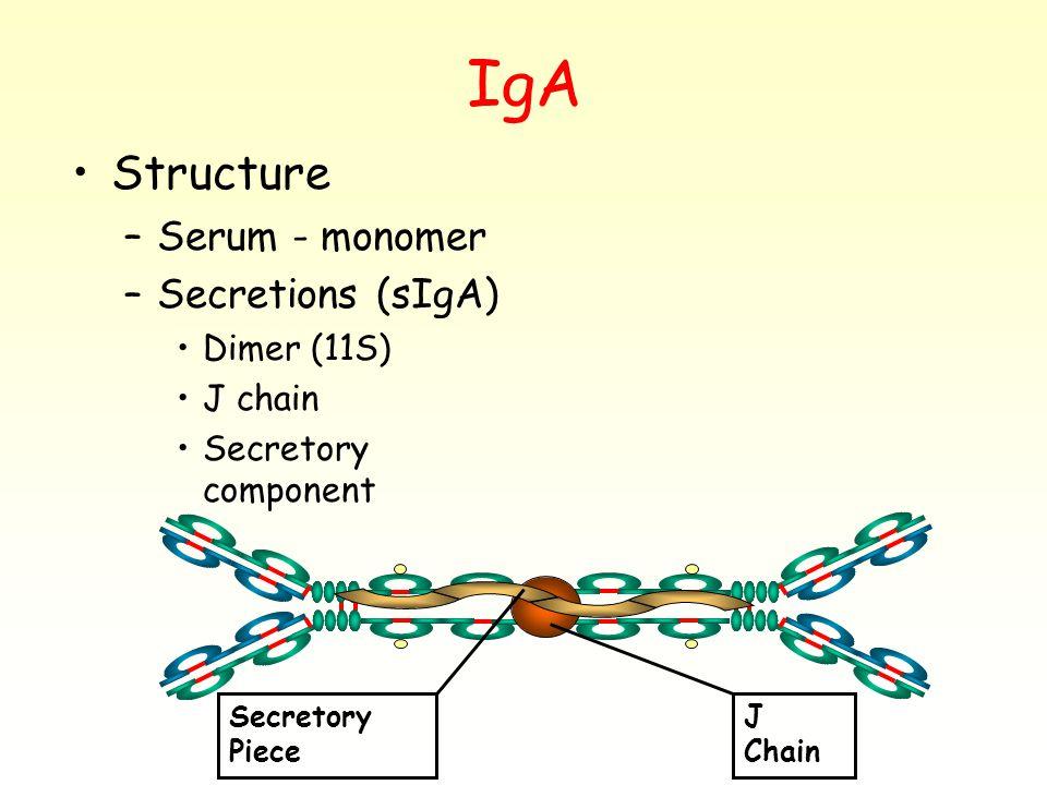 IgA Structure –Serum - monomer –Secretions (sIgA) Dimer (11S) J chain Secretory component J Chain Secretory Piece