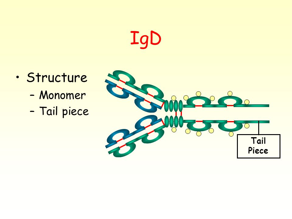 IgD Structure –Monomer –Tail piece Tail Piece