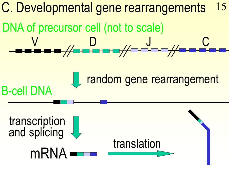 15 VDJC DNA of precursor cell (not to scale) random gene rearrangement B-cell DNA mRNA transcription and splicing translation C.