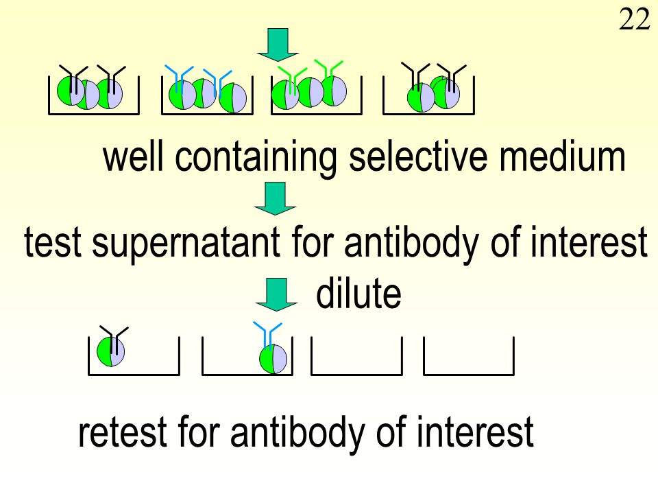 22 well containing selective medium test supernatant for antibody of interest dilute retest for antibody of interest