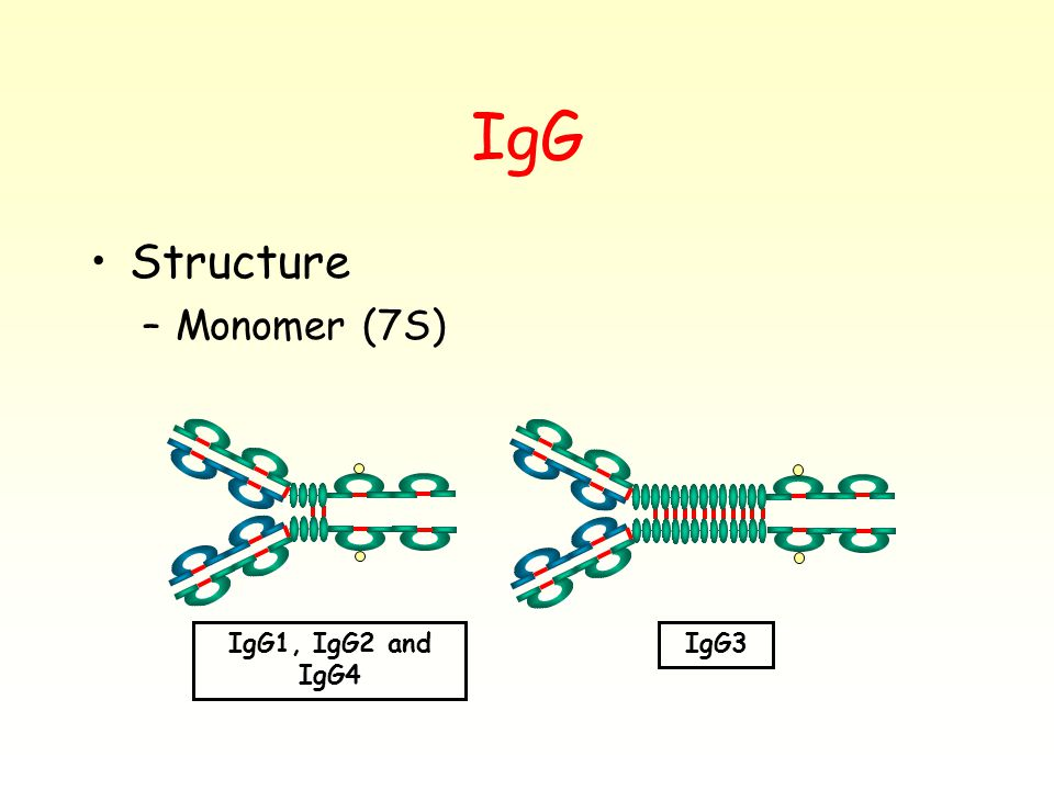 IgG Structure –Monomer (7S) IgG1, IgG2 and IgG4 IgG3