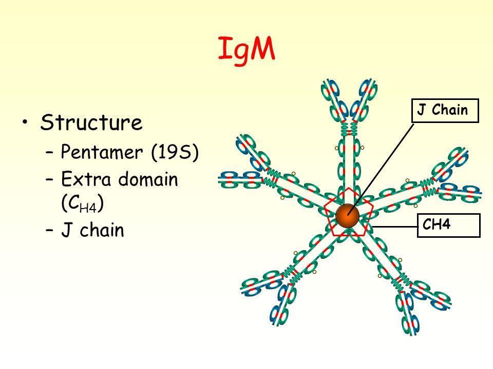 IgM Structure –Pentamer (19S) –Extra domain (C H4 ) –J chain CH4 J Chain