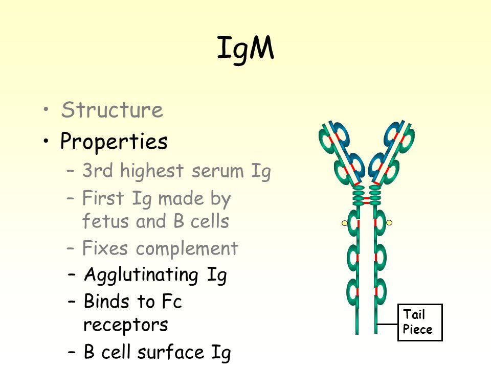 IgM Structure Properties –3rd highest serum Ig –First Ig made by fetus and B cells –Fixes complement Tail Piece –Agglutinating Ig –Binds to Fc receptors –B cell surface Ig