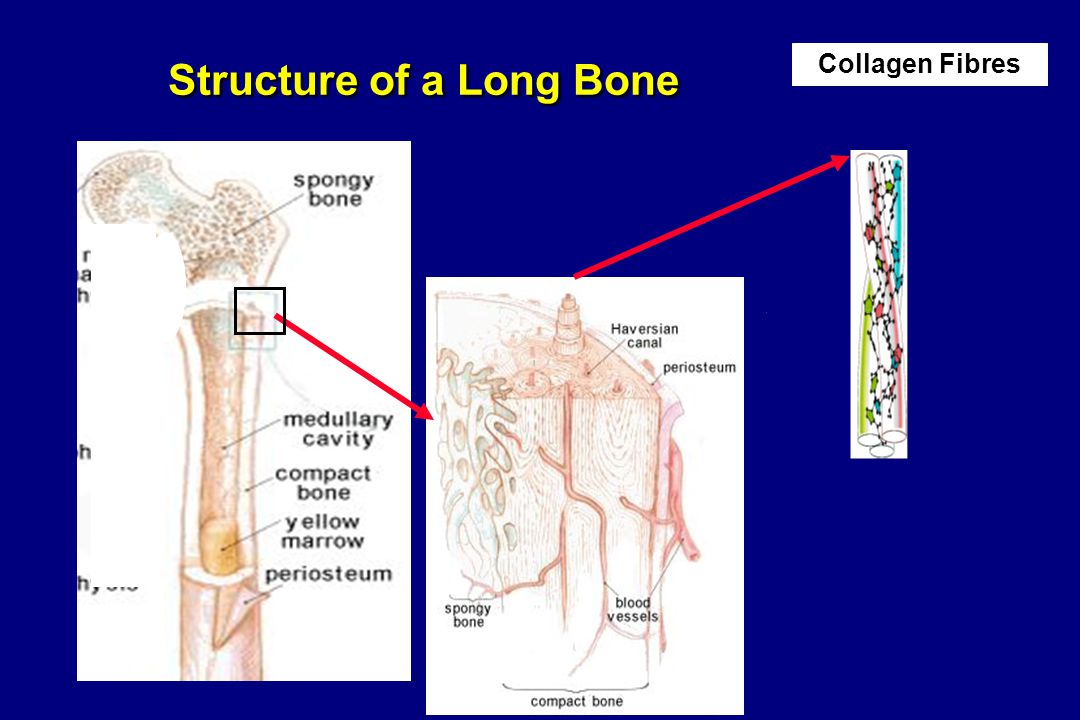 Collagen Fibres Structure of a Long Bone Structure of a Long Bone