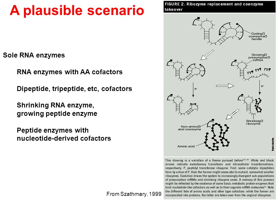 A plausible scenario Sole RNA enzymes RNA enzymes with AA cofactors Dipeptide, tripeptide, etc, cofactors Shrinking RNA enzyme, growing peptide enzyme Peptide enzymes with nucleotide-derived cofactors From Szathmary, 1999