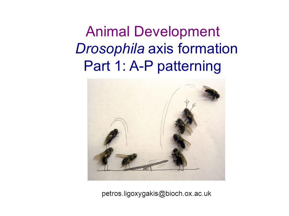 Animal Development Drosophila axis formation Part 1: A-P patterning petros.ligoxygakis@bioch.ox.ac.uk